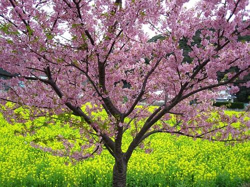 まつり と の 菜の花 みなみ 桜